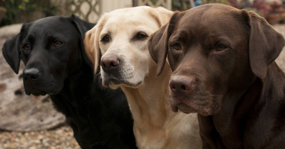 Lab Life Expectancy Influenced By Color Labrador Retriever Dog Labrador Retriever Dog Breeds Medium