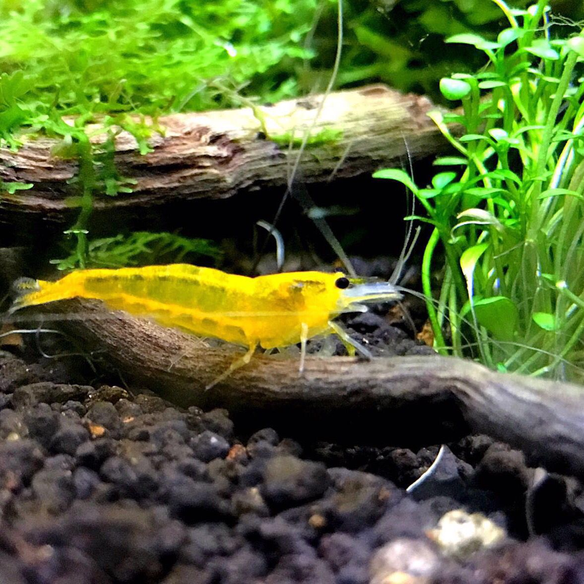 Freshwater fish tank yellow water - Yellow King Kong Shrimp Nano Aquariumfreshwater