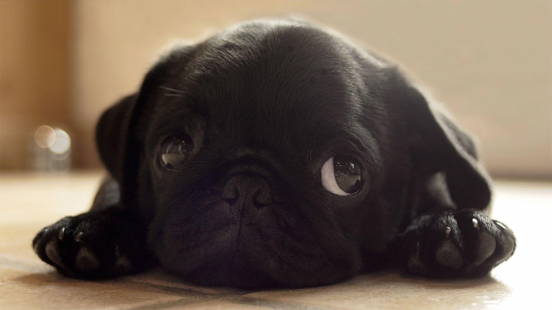 Innocent Little Pug Aminaaaals Pug Puppies Super Cute Puppies