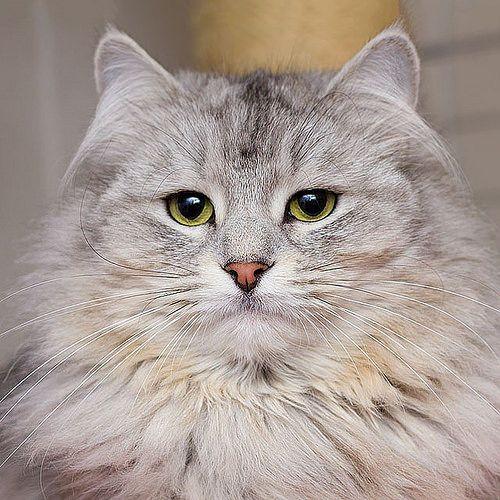Cat named kitty-- Für meine Katzenfans, heute ein Bild von Kitty. Einer Sibirischen Waldkatze aus dem Katzenhaus der Katzenhilfe Oberhausen. #hoschie #cat #kitty #sibirischewaldkatze #sibiriancat #cute #sweet #nice #adorable #kawaii #feline #adoptdontsh