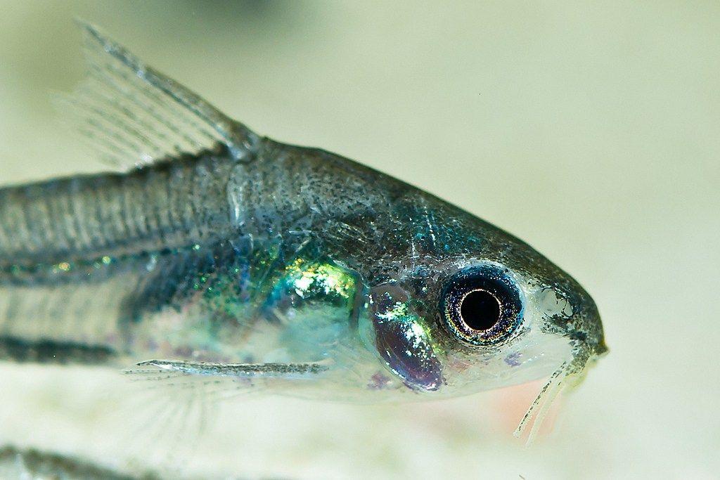 Caresheet Pygmy Cory Fish Freshwater Aquarium Fish Dwarf Puffer Fish