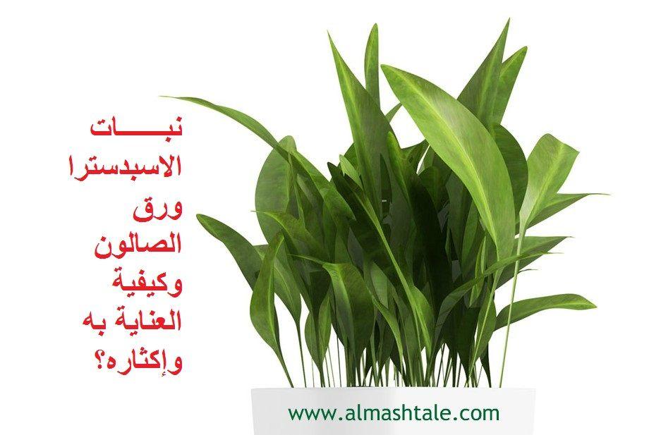نبات الاسبدسترا Aspidistra من النباتات العشبية مستديمة الخضرة نبات قوي ويتحمل أكثر من غيره الأوراق خضراء داكنة يتراوح طولها بين 45 Plant Leaves Herbs Plants