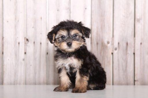 Morkie Puppy For Sale In Mount Vernon Oh Adn 29646 On Puppyfinder Com Gender Male Age 8 Weeks Old Morkie Puppies Morkie Puppies For Sale Morkie