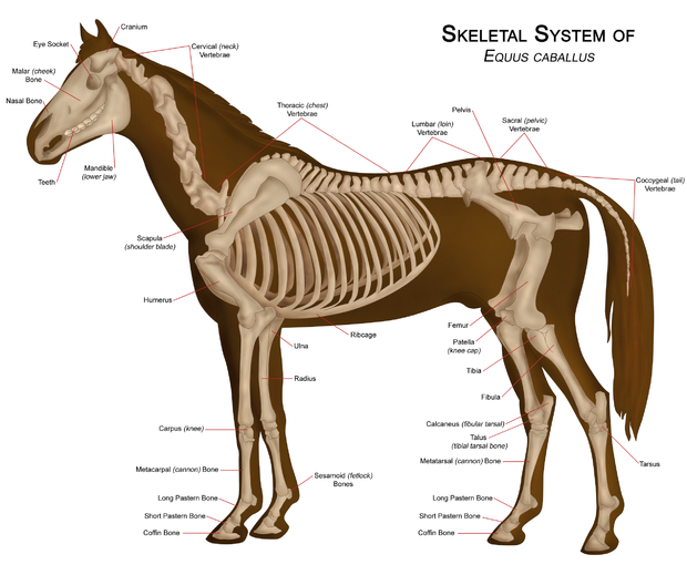 Horse Skeleton Diagram Labeled Wiring Fluorescent Lights In Parallel Of A With Major Parts Short Hair