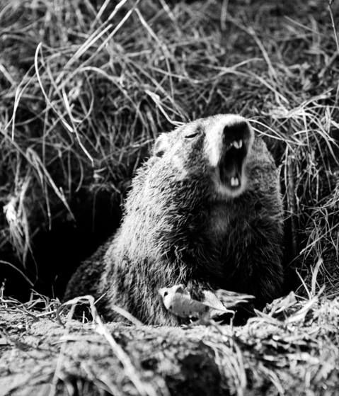 Groundhog Day: Humans elevating rodents to weathermen since 1841. See more: http://ti.me/1ukuU2U   (Andreas Feininger—The LIFE Picture Collection/Getty Images)