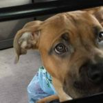 Adopt-A-Bull of The Week – Jake in Connecticut