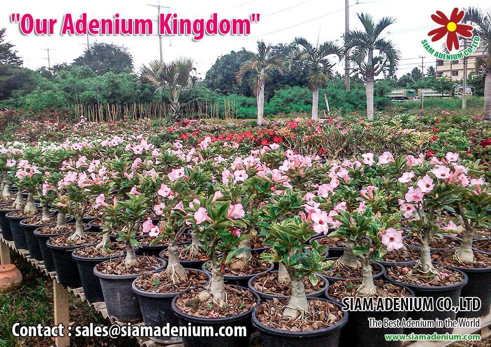 Adenium Nursery Www Siamadenium