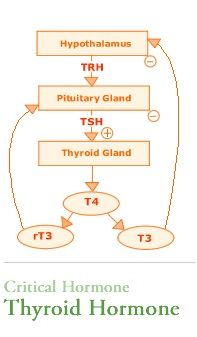 Thyroid Hormone Pathway Proper Levels Of Thyroid Hormone