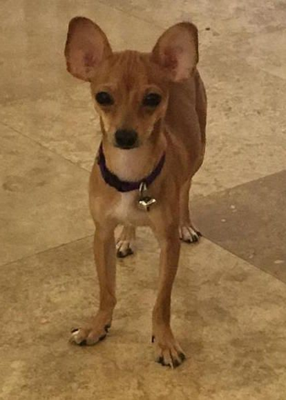 Found Dog Chihuahua Kissimmee, FL, United States