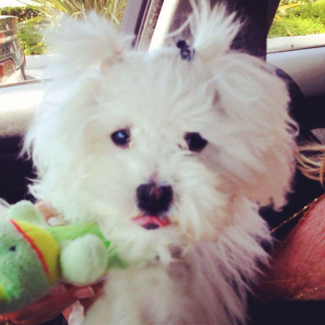 Baby Spice Mazie Maltipoo Puppy Missmazie Maltipoo Puppy Baby Spice Cute Animals