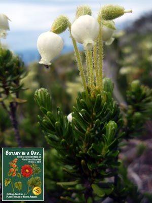 Ericaceae Heath Family Identify Plants Flowers Shrubs And Trees Identify Plant Flowers Plants