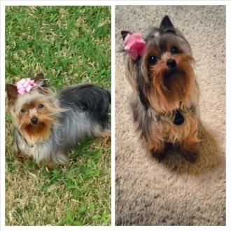Shimmertime Toycuties Yorkies Yorkshire Terrier Shimmer Dog Toy