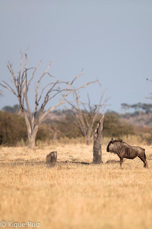 Ñu en Botswana