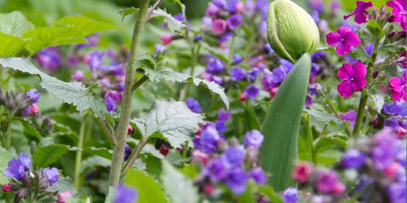 Storbladet lungeurt'Pulmonaria stiriaca'og judaspenge'Lunaria annua'