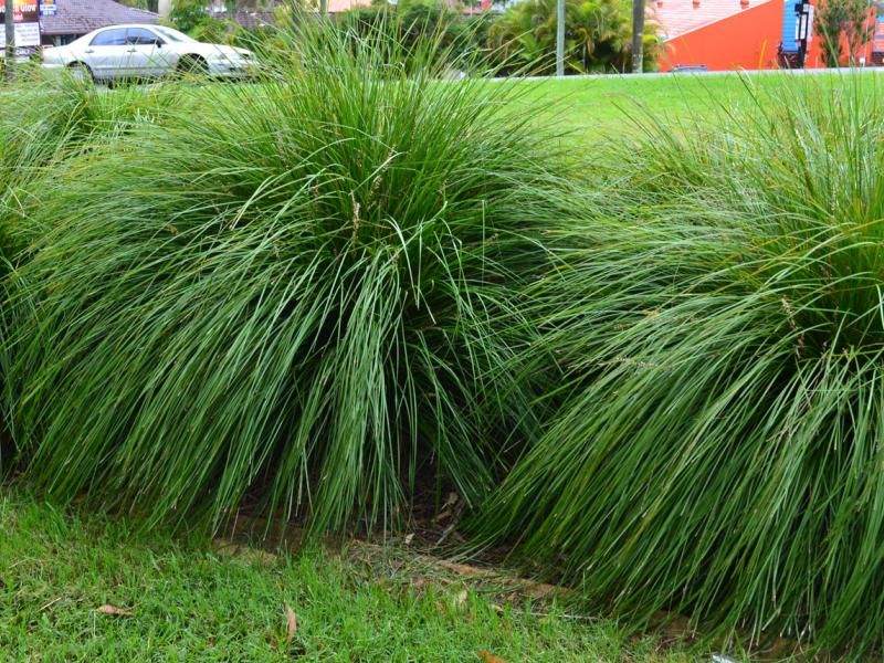 Ornamental grass lomandra tanika gardening for Landscape grasses for sun
