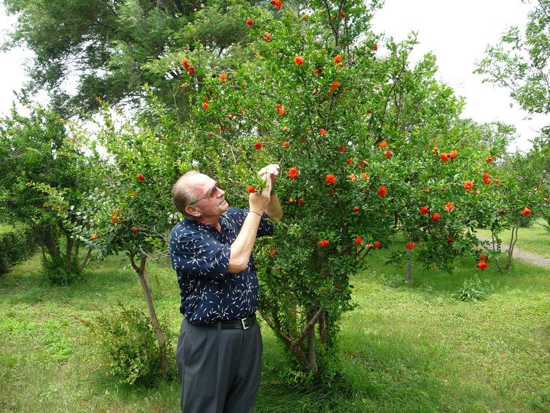 Pomegranate 10 Self Pollinating Tree Zone 7 9 Juicy Deep Red Fruit Keeps For Weeks Without Refrigeration Edible Landscaping Fruit Trees Easy Garden