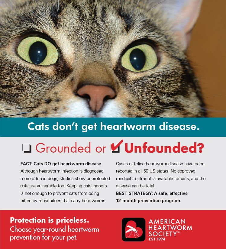It's a myth that cats can't get heartworm disease. Learn