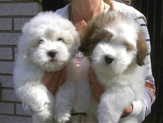 Cutest Dogs Coton De Tulears With