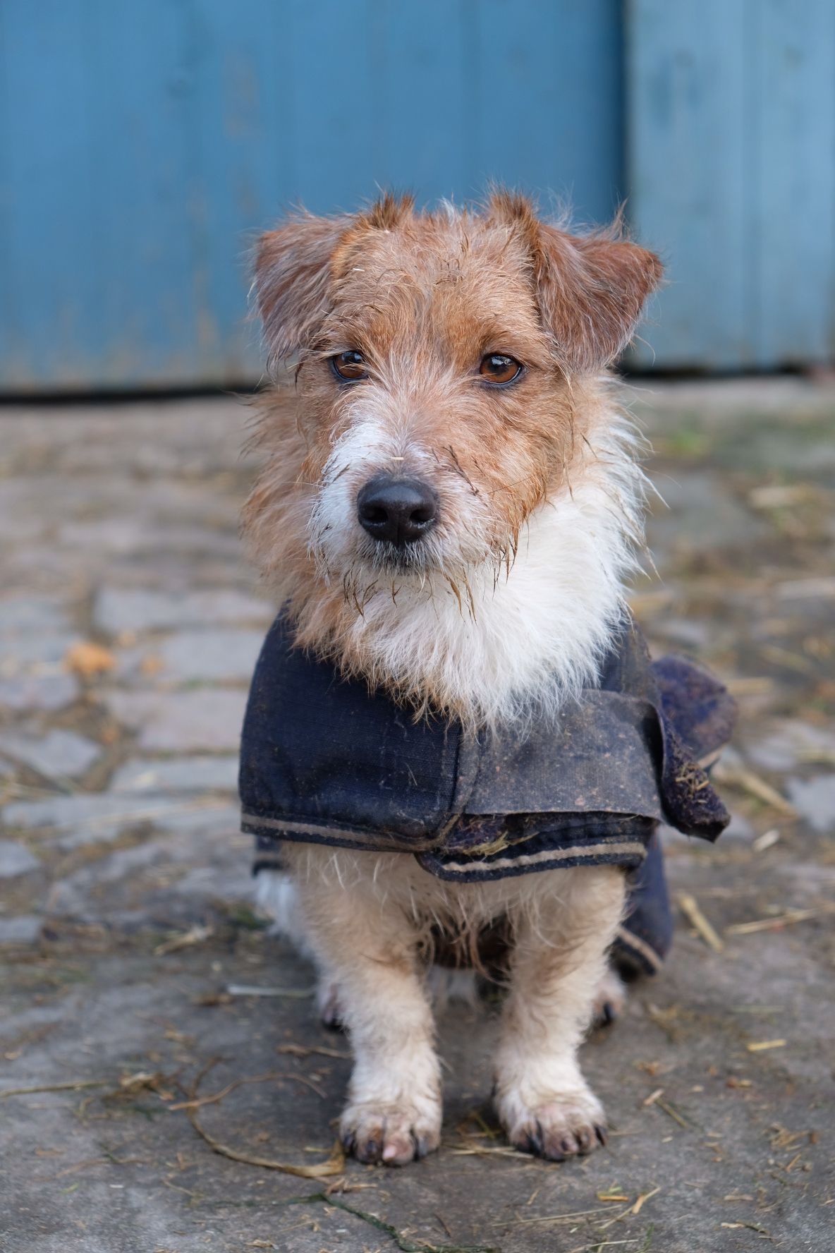 Hund Farm Life Abolengo De Alpaca Jack Russell Alpaka Farm