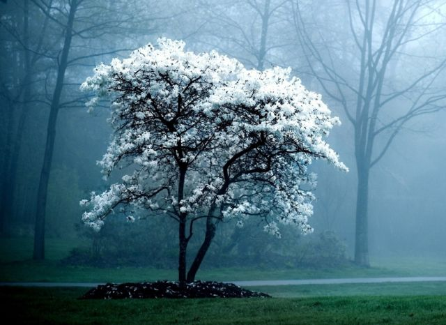 The White Magnolia Tree Hd Nature Wallpapers Beautiful Nature Wallpaper Computer Wallpaper Desktop Wallpapers