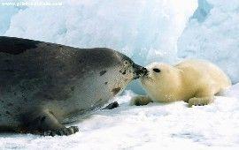 Sfondi foche, sfondo tricheco, sfondi animali, sfondi gratis