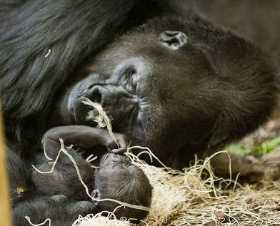 Baby gorilla born at Lincoln Park Zoo - Chicago Sun-Times
