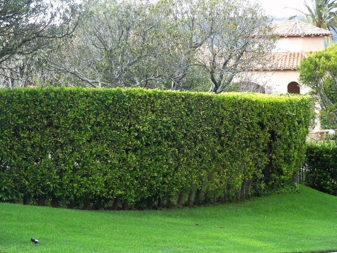 Ficus hedge care