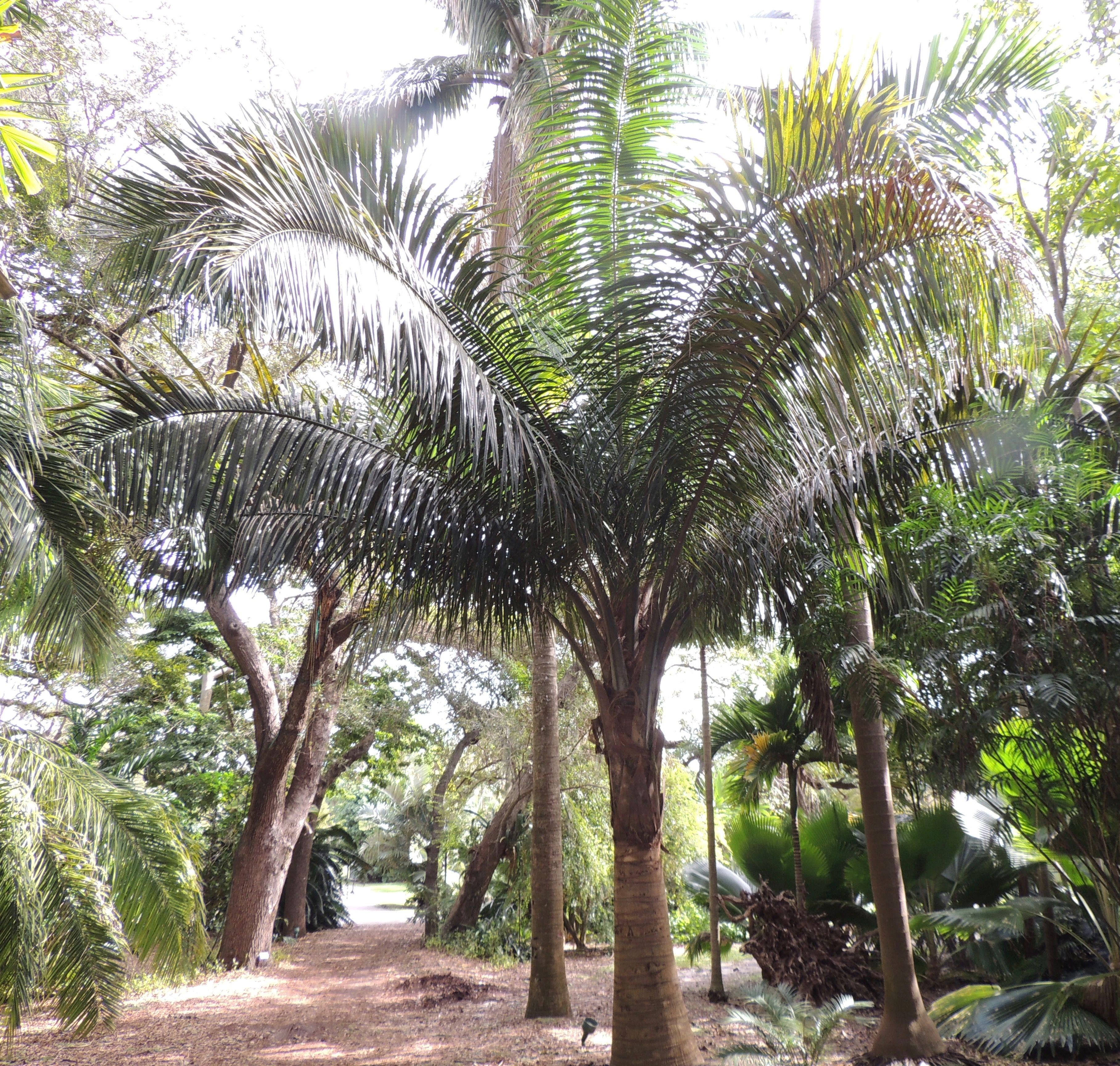 Attalea Crassispatha Fairchild Tropical Gardens, Hawaii