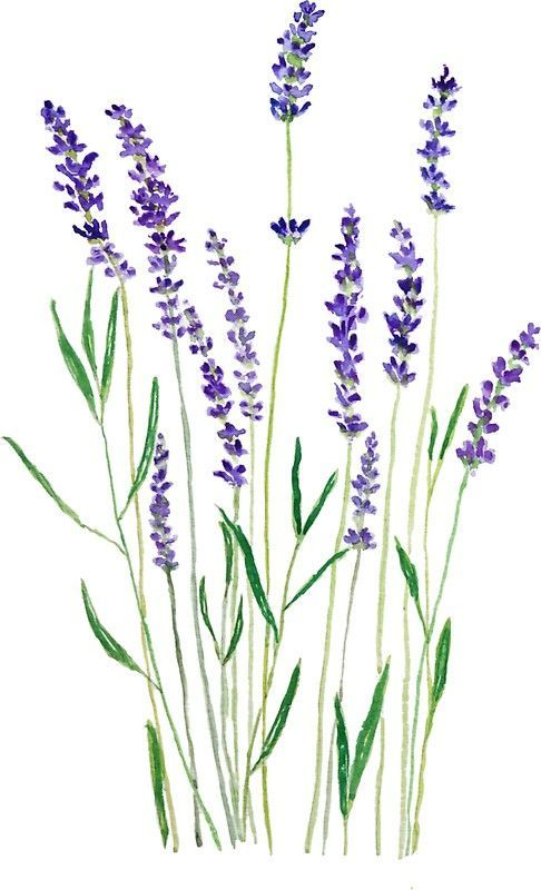 Lavanda Purpura Pinturas De Acuarela Simples Flores Para
