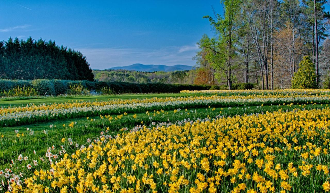 Daffodils at Gibbs Gardens in Ball Ground, GA.