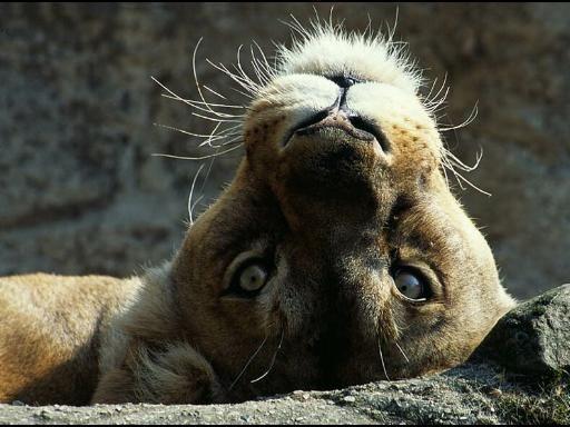 Hi there!   #Cougar Life   #BigCats
