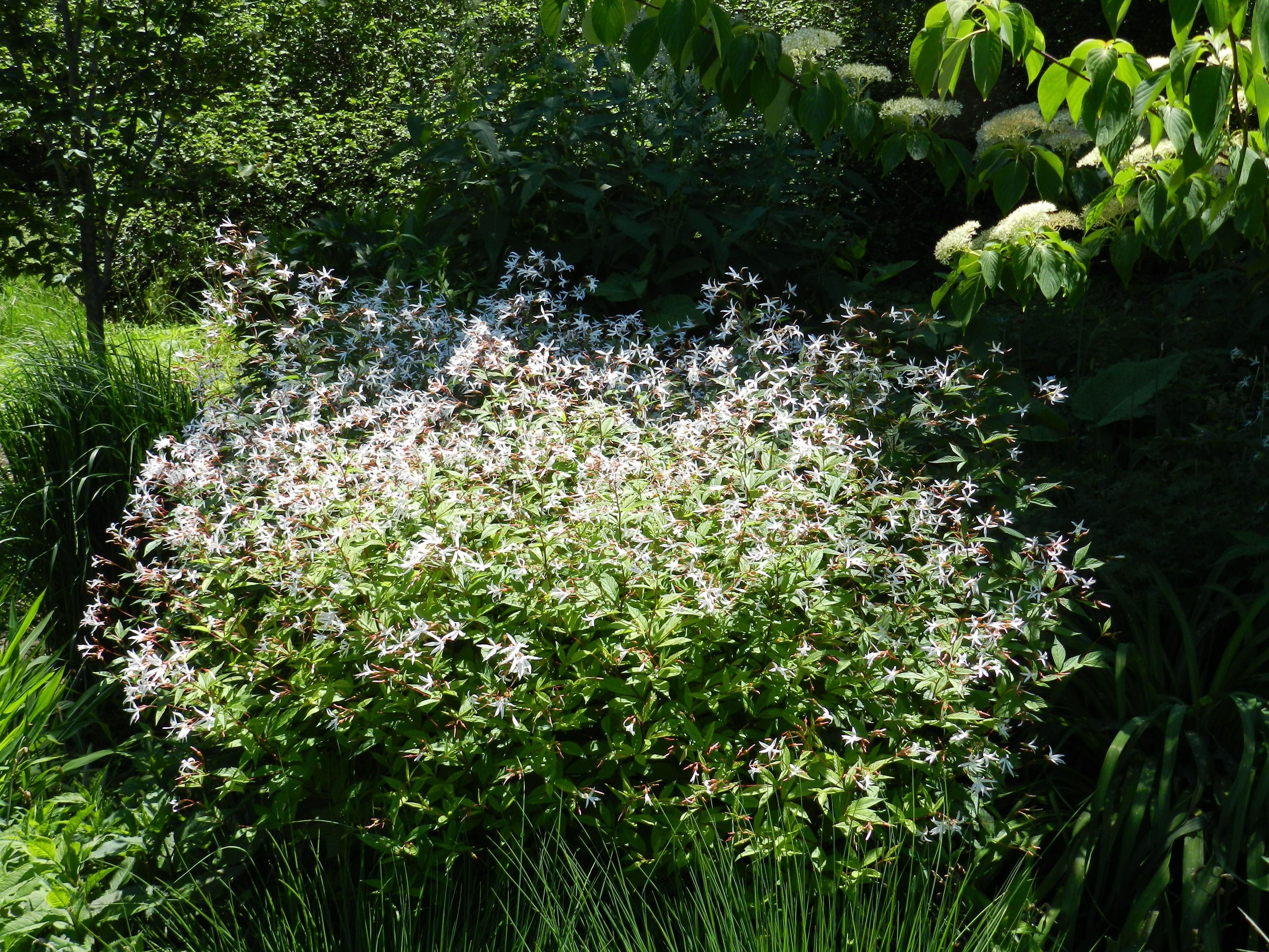 Gillenia Trifoliata Or Porteranthus Trifoliatus Indian Physic At