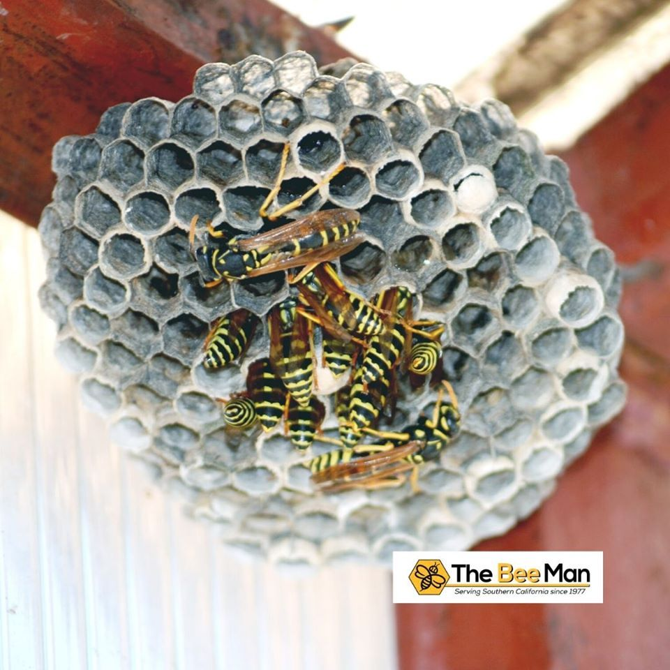 The Bee Man provides wasp nest removal services across