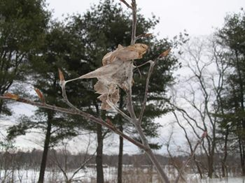 Browntail moth winter web. Photo: Maine Forest Service