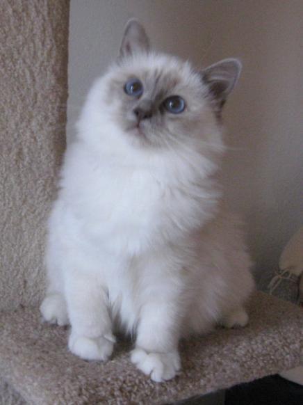 Login To Read Birman Kittens Gorgeous Cats Birman Cats For Sale