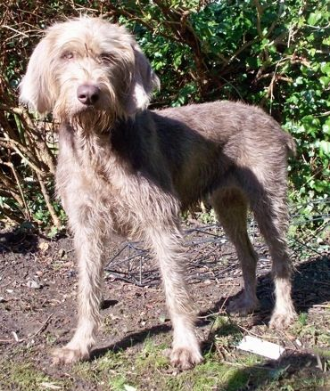 A Tall Wiry Looking Grey Slovakian Rough Haired Pointer Dog