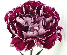 Minerva Standard Carnation No Longer Are Carnations Dull And Boring They Are Generally A Very In Expensiv Carnations Wholesale Flowers Expensive Flowers