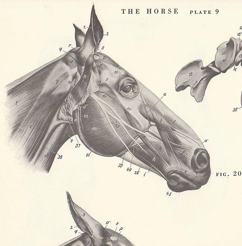 anatomy of a horse head | Vintage Horse Head Anatomy Illustration ...