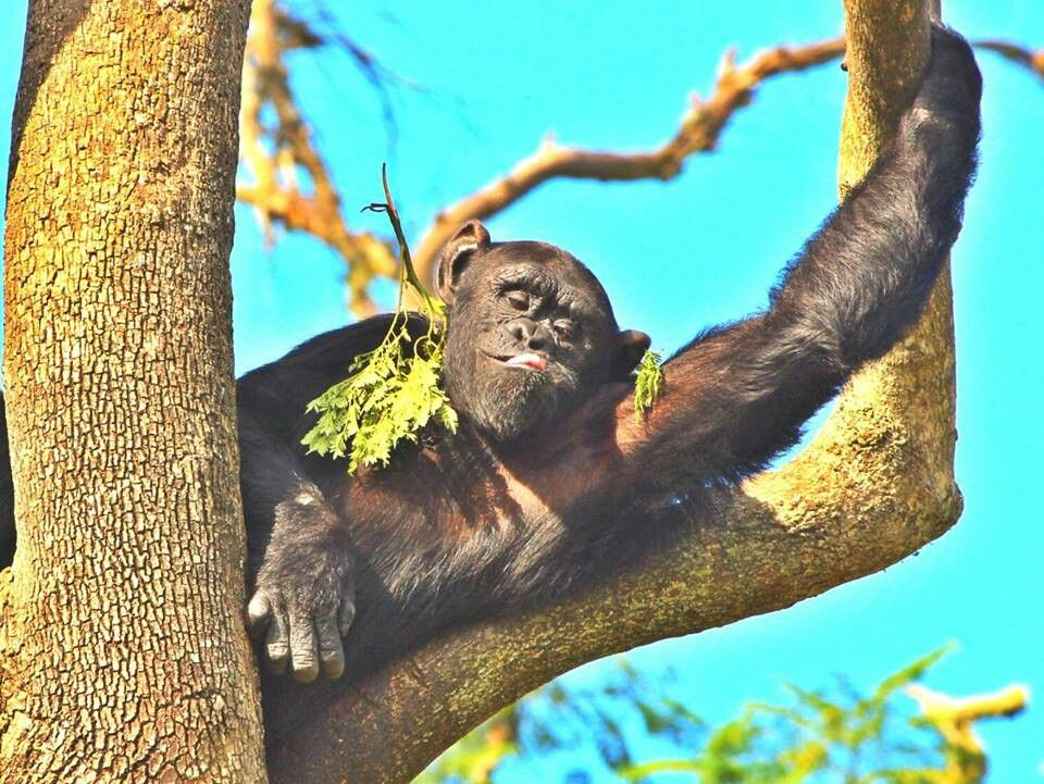 Claude. From the Jane Goodall foundation   Chimpanzee ...