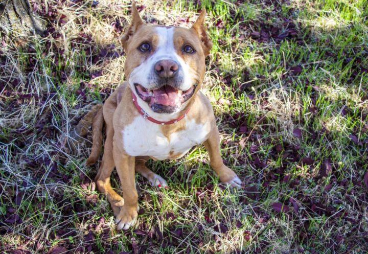 Adopt gracie on petfinder in 2020 dog adoption pitbull