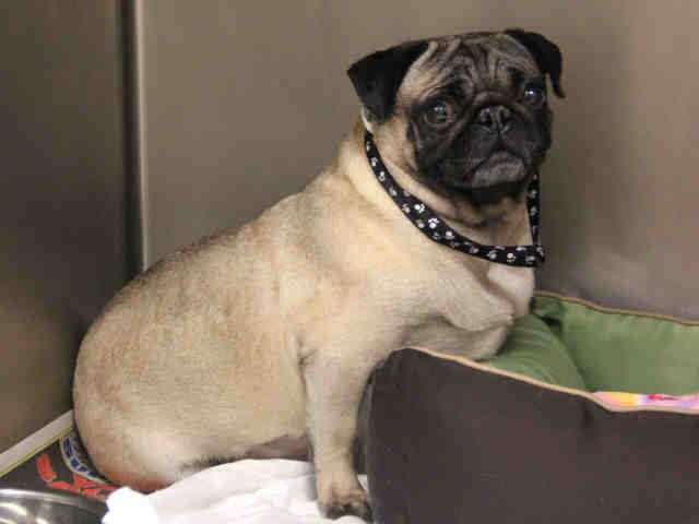 Missouri Urgent Luna Id A546529 Is A Spayed 5y O Pug In