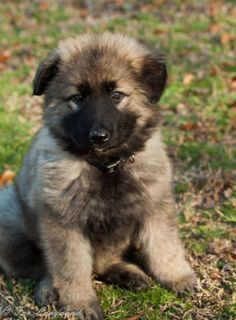 King Shepherd puppy