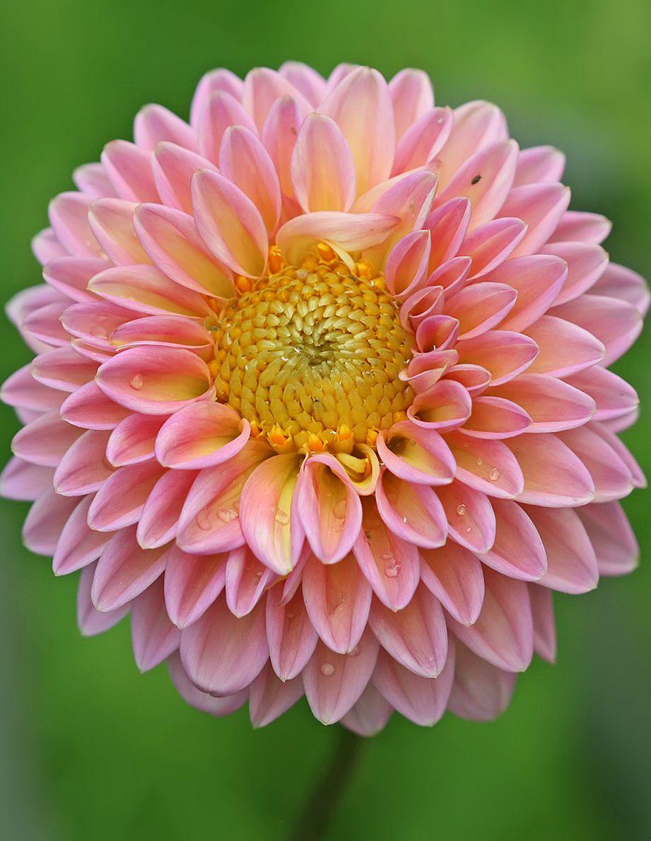 File Dahlia X Hybrida Jpg Wikipedia The Free Encyclopedia Types Of Flowers Beautiful Flowers Dahlia Flower