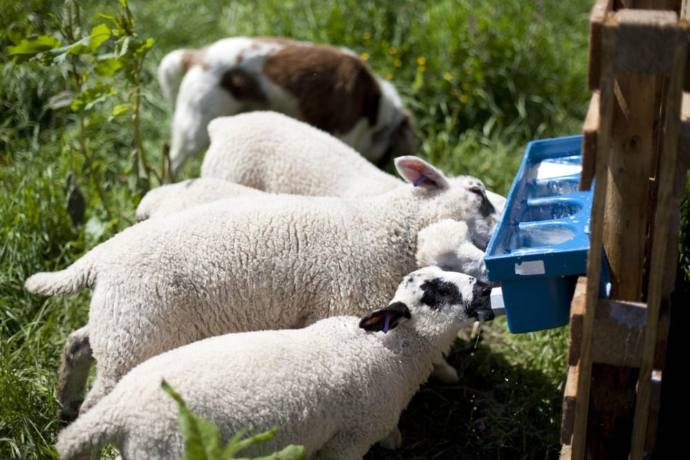 Thirsty Lambs at Tapnell Farm Photo