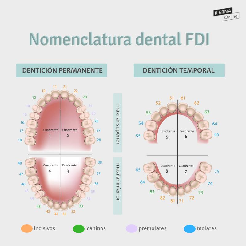 Nomenclatura Dientes El Codigo Internacional Fdi Escuela De Higiene Dental Higienista Dental Odontologia