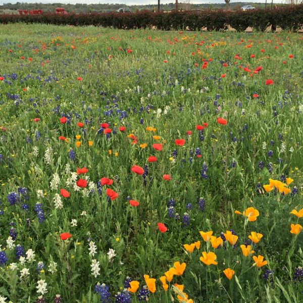 It's. Just. So. PRETTY! wildflowers texas WildseedFarms
