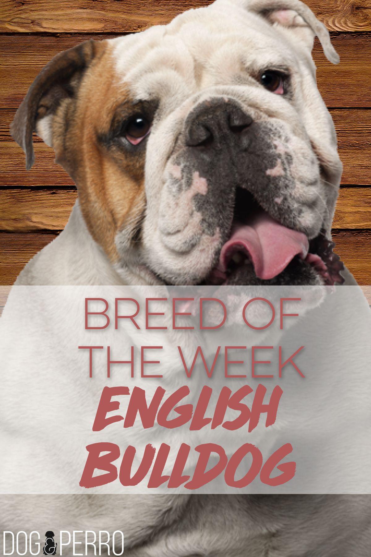 Uncommonly Colored Black English Bulldog Bulldog Puppies