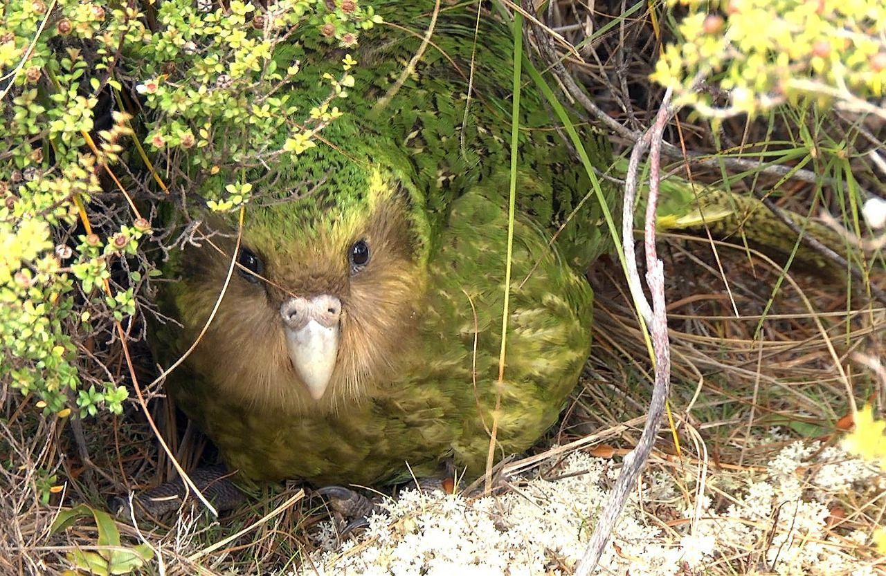 The total known population is only 126 living individuals, as reported by the Kakapo Recovery programme, most of which have been given names.Because of Polynesian and European colonisation and the introduction of predators such as cats, rats, ferrets, and stoats, the kakapo was almost wiped out. Conservation efforts began in the 1890s, but they were not very successful until the implementation of the Kakapo Recovery plan in the 1980s.