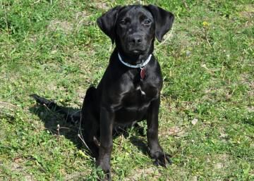 Annie - 5 month old black lab mix, the markings on her ...