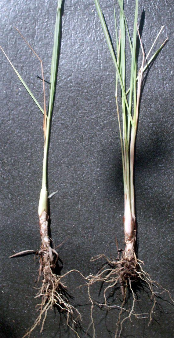 Lemongr Plants 2 Rooted Stalks By Artvine Nursery On Etsy